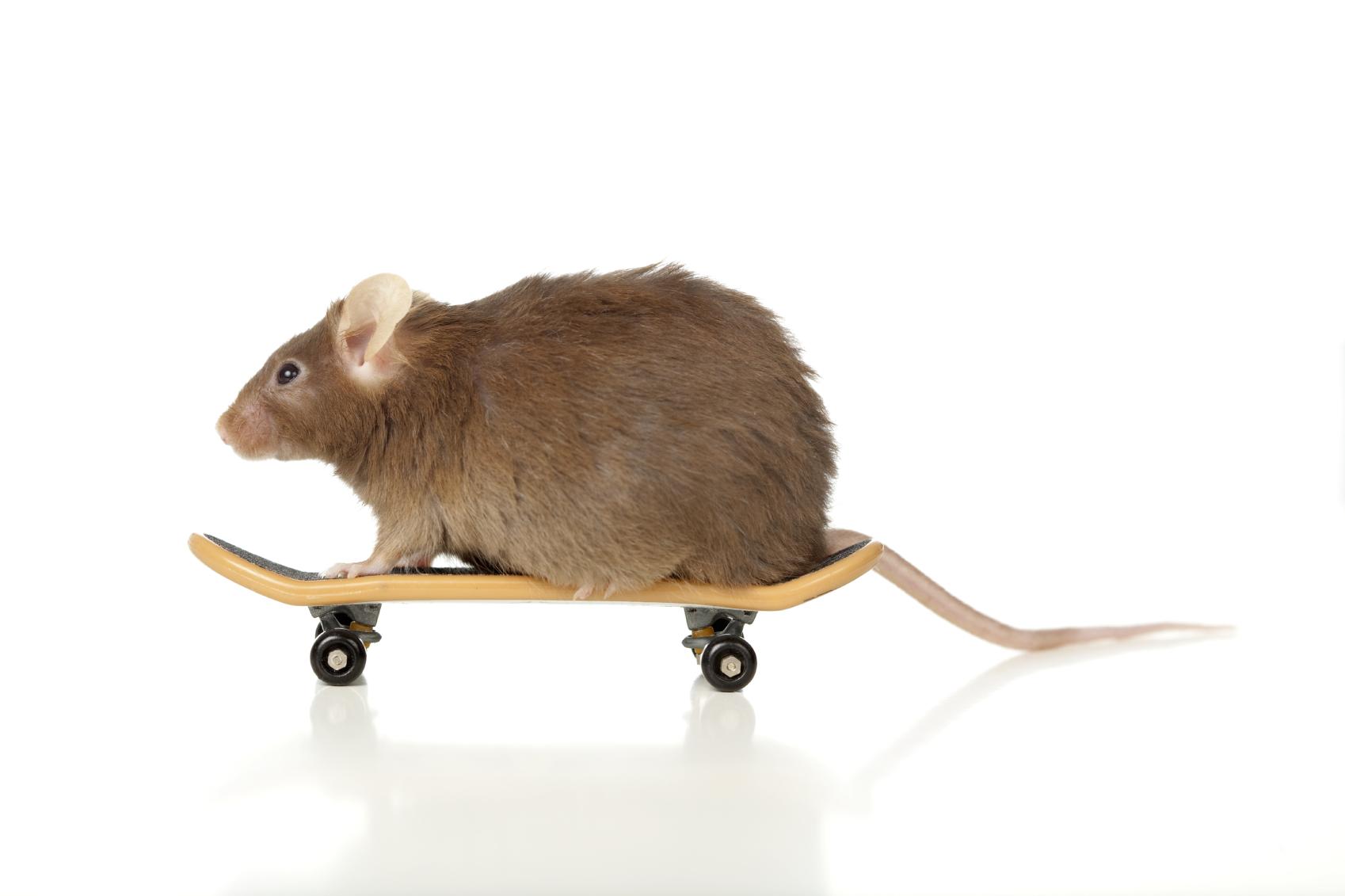 בחן את עצמך : כמה עכבר אתה?